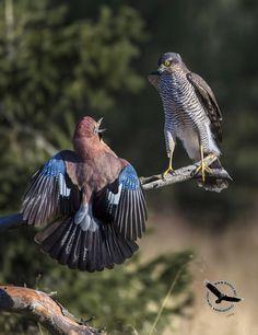 Eurasian Jay (Garrulus glandarius) and Eurasian Sparrowhawk (Accipiter nisus)