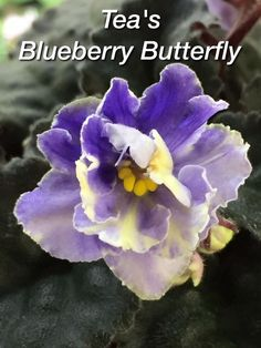 How Herb Back Garden Kits Can Get Your New Passion Started Off Instantly African Violet, Tea's Blueberry Butterfly Standard Back Gardens, Outdoor Gardens, Violet Plant, Saintpaulia, Sweet Violets, St Pierre And Miquelon, Blooming Plants, Small Leaf, Live Plants