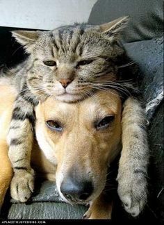 This reminds me of my German shepherd and my Siamese cat. The frequently slept like this or curled up around each other.