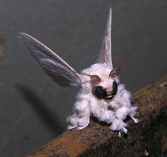 The now famous poodle moth, species unknown. Photo by: Arthur Anker.