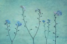 pressed forget me nots | Flickr - Photo Sharing!