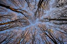 Tree tops are tinged pink at sunrise in woods near Cleeve, Somerset, UK