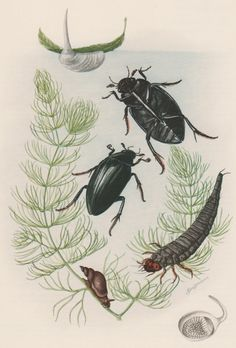 1957 Water Scavenger Beetles Antique Print Vintage by Craftissimo