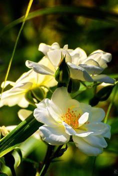 """White Rose"" by Christian Meermann"