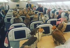 A Saudi Prince recently purchased tickets for a commercial flight for all his pet falcons. A total of eighty plane seats were booked up and the other passengers and cabin crew looked on in shock