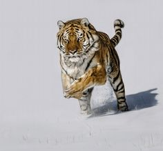 Snow Chase.... by Paul Keates