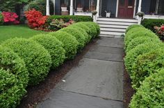 Boxwoods to line the front walk is a great idea. I love the round look of these.