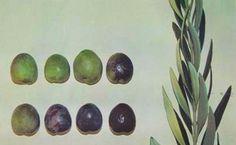 Πετροελιά - Φυταγορά Σερρών