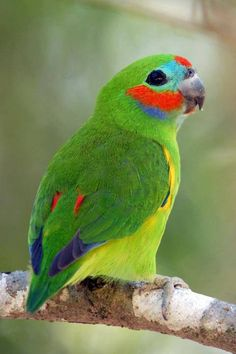 Double Eyed Fig Parrot , found in New Guinea and Australia