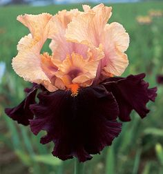 Schreiner's Iris Gardens grows high quality bearded and beardless iris rhizomes for your landscape design. Excellent customer service answers your iris growing questions. We ship iris worldwide at the right time for planting. Iris Flowers, Types Of Flowers, Exotic Flowers, Beautiful Flowers, Iris Garden, Garden Plants, Succulent Gardening, Container Gardening, Flowers Perennials
