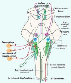 Physiologie: Motorische Funktionen des Hirnstamms