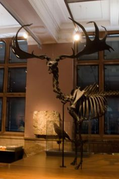 Image detail for -Giant Irish Deer Extinct Animal Fossil Pictures