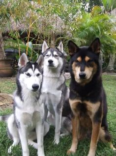 It is believed that the Siberian husky has their origin among a group of Siberian nomads called the Chukchi. The exact history of this dog breed is yet to Cute Husky, Husky Mix, Husky Puppy, Cute Dogs Breeds, Dog Breeds, Siberian Husky Puppies, Siberian Huskies, White Siberian Husky, Husky Tumblr