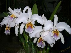 Cattleya mossiae coerulea