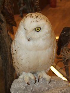 Snowy Owl - Natural History Museum of Meteora & Mushroom Museum Arctic Tundra, Natural History Museum, Yellow Eyes, Snowy Owl, Birds, Bird