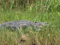 Day #7 - Another gator @Everglades Safari Park