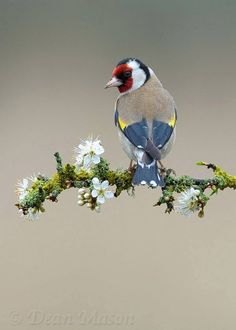 "**Goldfinch on Sloe Blossom, by Dean Mason. The details are just amazing! (It is probably a finch, but not a ""Goldfinch"" by American definition) Kinds Of Birds, All Birds, Little Birds, Love Birds, Angry Birds, Pretty Birds, Beautiful Birds, Animals Beautiful, Beautiful Pictures"