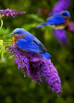 The bright blue feathers of the bird goes well with the purple flowers. There is a small bird (may be the baby) on another branch.
