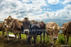 http://www.dollarphotoclub.com/stock-photo/Swiss cows/58630801 Dollar Photo Club millions of stock images for $1 each