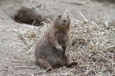 Black-tailed Prairie Dog (Cynomys ludovicianus) by Jim, the Photographer, via Flickr