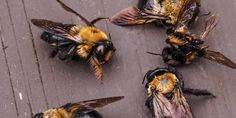 """EPA Approves """"Emergency"""" Use of Banned Bee-Killing Insecticide On 14 Million Acres Dead Bees, How To Kill Bees, Bee Safe, Plant Bugs, Mind Blowing Facts, Sustainable Food, Bee Keeping, Livestock, Natural World"""