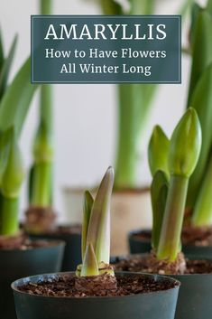 Theres no need to endure a winter without flowers Amaryllis make it easy to fill your home with beautiful blossoms You also get to enjoy the pleasure of nurturing a plant. Amaryllis Care, Amaryllis Plant, Amaryllis Bulbs, Landscaping Plants, Garden Plants, House Plants, Landscaping Rocks, Hydroponic Gardening, Container Gardening