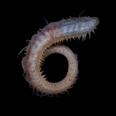 A polynoid polychaete worm collected off Lecointe Island, Gerlache Strait, at a depth of about Skull Model, Deep Sea Creatures, Rare Species, One Image, Marine Life, Light In The Dark, Island, Highlight, Tanks