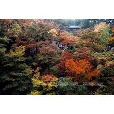 Surement un des plus beaux endroits pour observer les feuillages rouges au Japon. L'érable prend des couleurs allant du jaune au rouge vif, pour le plus grand plaisir du public.  #Couleur #rouge #Kyoto #Japon