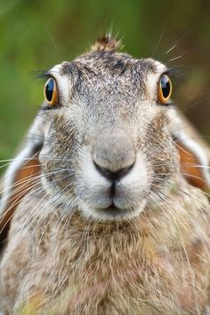 What are You Looking at? by Jay Goodrich  Blacktailed Jack Rabbit
