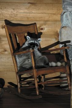 Log Cabin front porch raccoon guest making himself at home in the rocking chair.