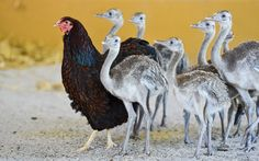 Gertrud the chicken (L) walks with American rhea chicks in her enclosure at the Tierpark in Worms, Germany