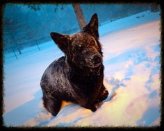 Kenai in the snow. #gsd #germanshepherd #dog