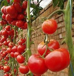 Como Plantar Tomates