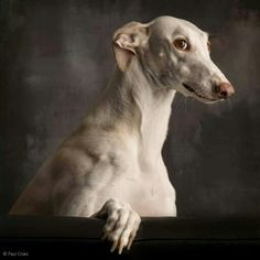 greyhound - beautiful