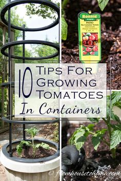 Grow Organic Tomatoes Want to know how to grow healthy, beautiful tomatoes in a small space? Click through to find some awesome tips for growing tomatoes in containers. Growing Tomatoes Indoors, Tips For Growing Tomatoes, Growing Tomato Plants, Growing Tomatoes In Containers, Growing Herbs, Growing Vegetables, Grow Tomatoes, Potted Tomato Plants, Gardening Vegetables