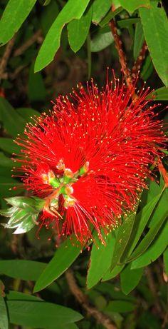 Pohutukawa Flower - Aotearoa