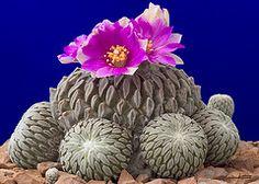 Pelecyphora aselliformis (f.arias) Tags: cactus plant planta toxic cacti mexico succulent flora nikond100 odd desierto endangered rare rara hallucinogenic abw grassroot naturesfinest blueribbonwinner extrange pelecyphora specnature 35faves impressedbeauty superbmasterpiece hugyourcacti cactisucculentsbulbplants aselliformis peyotillo wowiekazowie diamondclassphotographer beyondexcelence hugyour flowerscolours cactadiction peyotiyo falsepeyote hatchetcactus woodlousecactus