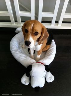 Are you interested in a Beagle? Well, the Beagle is one of the few popular dogs that will adapt much faster to any home. Cute Puppies, Cute Dogs, Dogs And Puppies, Doggies, Scottish Terrier, Dog Friends, Best Friends, Adoptable Beagle, Beagle Puppy