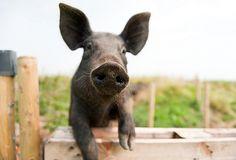 summer pig-0831