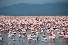 Flamingos at Ngorongoro crater, Kenya
