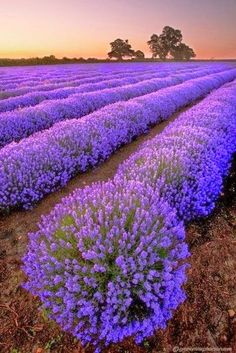 Beauty Of  Fascinating  Lavender