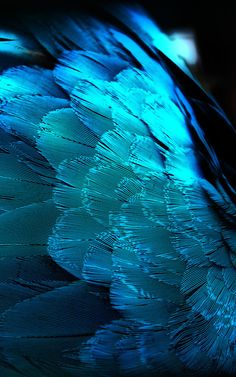 Her peacocks have taken flight to winter  in South Africa///Indigo Dreams
