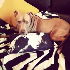 An innocent dog risks euthanasia simply because he resembles a pit bull, despite his owners assuring authorities that he is not. Moreover, the dog is gentle, affectionate, and displays no signs of aggression. Urge authorities to spare this dog, return him to his owners, and remove breed-specific legislation.