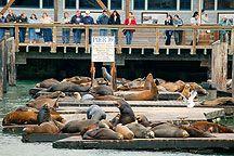 Sea Lions at Pier 39, Fisherman's Wharf, San Francisco, CA