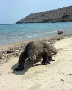 The Komodo Dragon (Varanus komodoensis) is prevalent on Komodo Island, Indonesia. Animals Of The World, Animals And Pets, Cute Animals, Reptiles Et Amphibiens, Mammals, Komodo National Park, Monitor Lizard, Animal Photography, Pet Birds