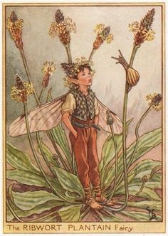 FLOWER FAIRIES/BOTANICALS: The Ribwort Plantain Fairy; This is an original vintage Cicely Mary Barker Flower fairies colour print. It is not a modern reproduction, c1948; approximate size 11.0 x 7.5cm, 4.25 x 3 inches