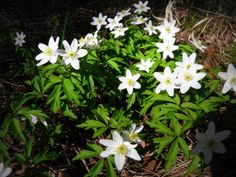 Valkovuokko/Wood anemone from Finland Photography Päivi Sorri Wood Anemone, Cool Photos, My Photos, Finland, I Am Awesome, Spring, Winter, Flowers, Plants