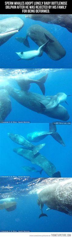 [Cachalotes adoptan bebé delfín nariz de botella rechazado por su familia por ser deformado]