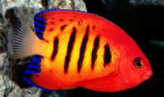 1000 images about fishspirartions on pinterest for Semi aggressive fish