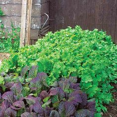 Easy, Fast-Growing Greens to Grow